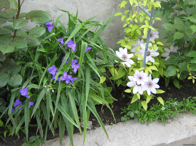 Традесканция выращивание в открытом грунте 48
