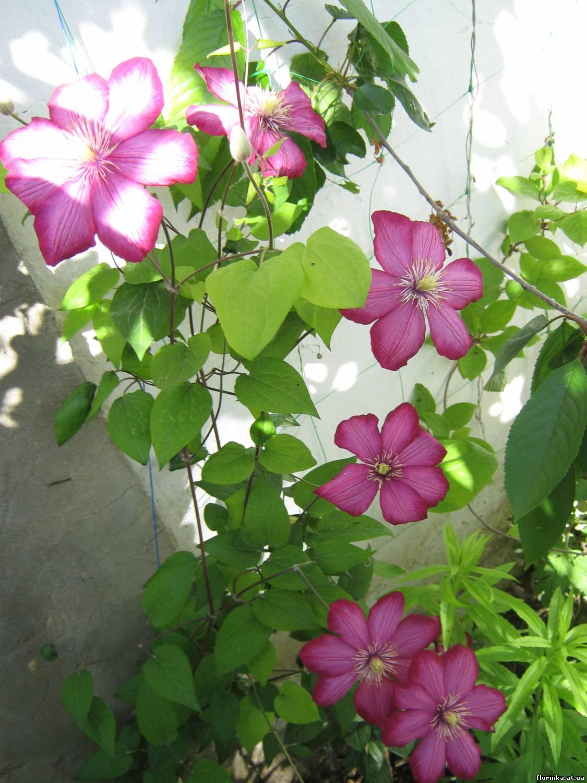 Клематисы в сибири сорта выращивание и уход в открытом грунте отзывы